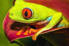 """""""Red-eyed Tree Frog"""""""