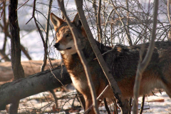 """""""Red Wolf in Woods"""""""