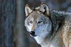 """Gray Wolf"""