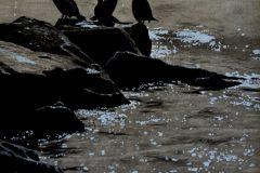 """""""Cormorants"""""""