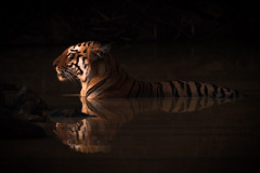 """""""Bengal Tiger Lying in Shadowy Water Hole"""""""