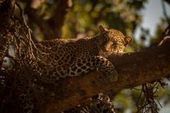 """""""Leopard Falling Asleep on Branch of Tree"""""""