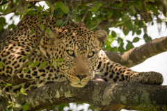 """""""Close-up of leopard lying on lichen-covered branches"""""""
