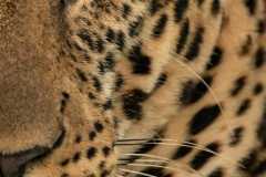 """""""Close-up of half of male leopard face"""""""