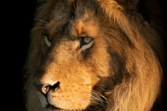 """""""Close-up of male lion face in shadows"""""""