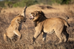 """""""Lioness about to slap male after mating"""""""