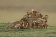 """""""Lioness lies covered in cubs on savannah"""""""