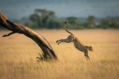 """Cheetah jumps down from tree in savannah"""