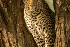 """""""Leopard eyeing camera from fork of tree"""""""