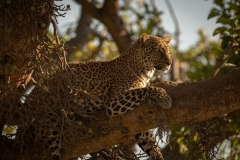 """""""Leopard lies on branch with head up"""""""