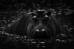 """""""Mono hippo stares at camera from river"""""""