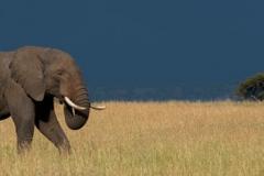 """Panorama of elephant walking through long grass"""