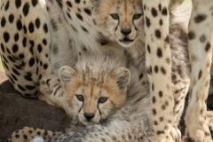 """Two cubs lie on mound under cheetah"""