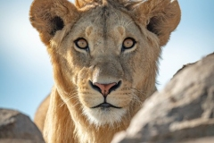"""""""Young male lion watches camera over rocks"""""""